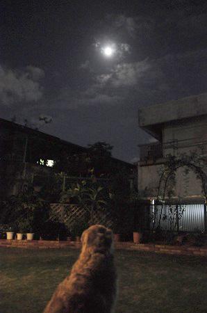 ゴールデンレトリバーと月