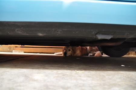 車の裏で涼むゴールデンレトリバー