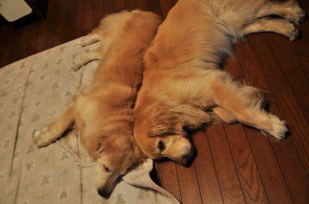 くっついて寝るゴールデンレトリバー2
