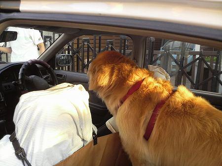 車に乗るゴールデンレトリバー