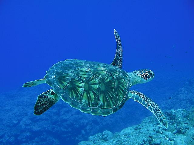 アオウミガメの画像 p1_27