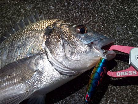 やんばる釣り日記:ミナミクロダイのルアー釣り。