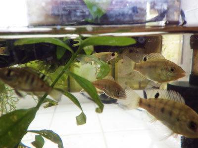 恐るべし野生の水草! 熱帯魚も採れた!