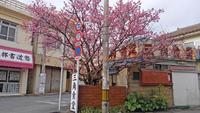桜が満開! 三角食堂!