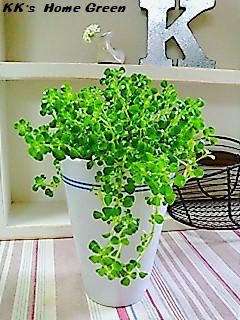 ... 男性43歳の家族暮らし、観葉植物 ピレアディプレッサに関するgulukunさんの ...
