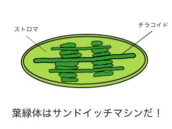 葉緑体はサンドイッチマシンだ!:おもしろ受験生物