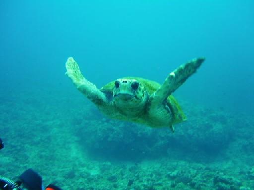 アカウミガメの画像 p1_1