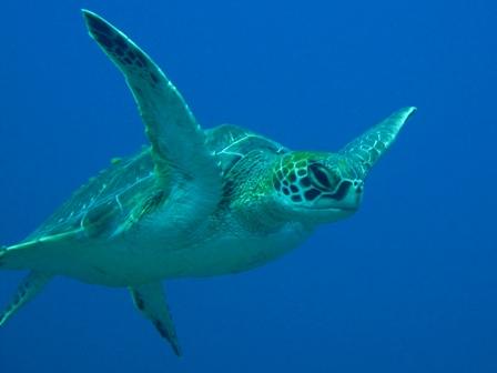ウミガメの画像 p1_10